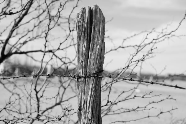 Black and white landscape photograph featuring a rugged old fence post framed by the thorny branches of a mesquite tree