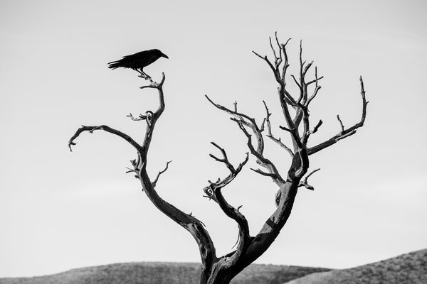 Black and White photograph of a blackbird perched on the branch of a dead tree, silhouetted against the bright desert sky.