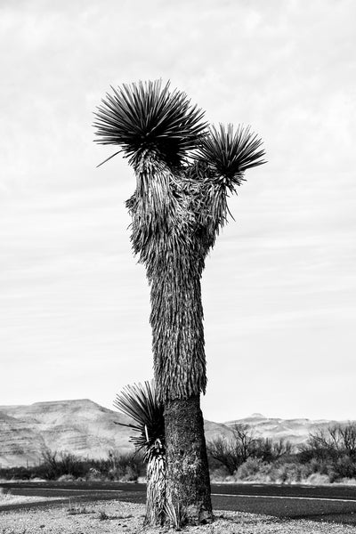 Black and white landscape photograph focused on a towering yucca plant in the western desert.