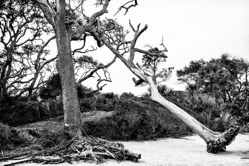 Black and white photograph of an uprooted tree leaning on another at Driftwood Beach on Jekyll Island, Georgia.