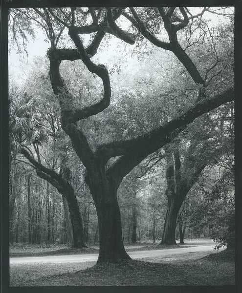 Scan of a print. Low Country Trees Near Charleston limited edition photograph by Keith Dotson