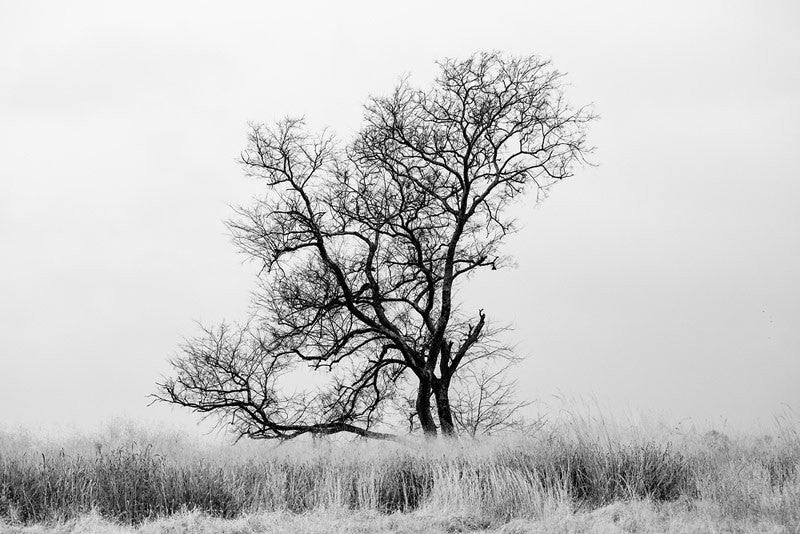 Black and white landscape photograph of a big black winter tree standing amidst tall grasses on the historic McFadden farm.