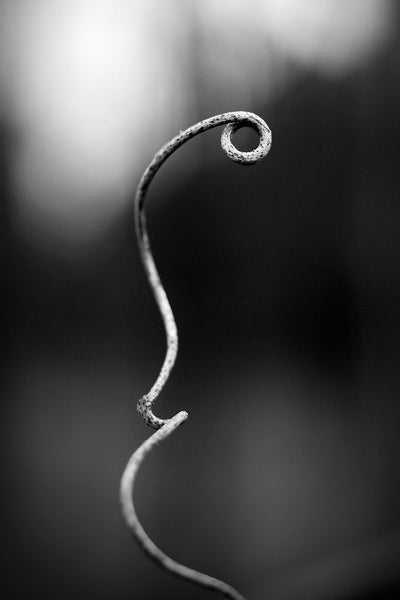 Black and white macro photograph of a tiny curved vine that seems like a beautiful natural sculpture.