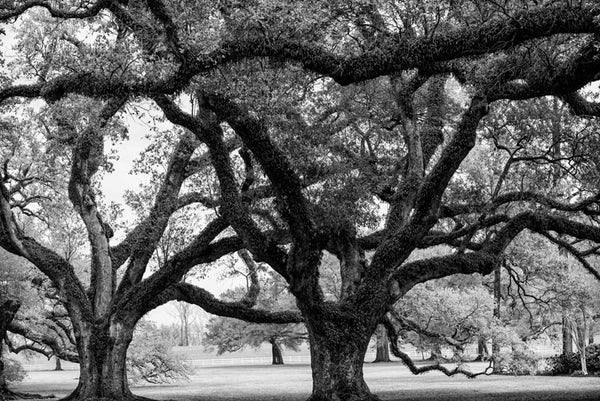 Black and white photograph of some of the 300-year-old oak trees at the famous Oak Alley Plantation in Louisiana, which is so well preserved, it's been featured in many movies and TV shows, and had a starring role in the Tom Cruise/Brad Pitt classic horror film Interview with the Vampire.