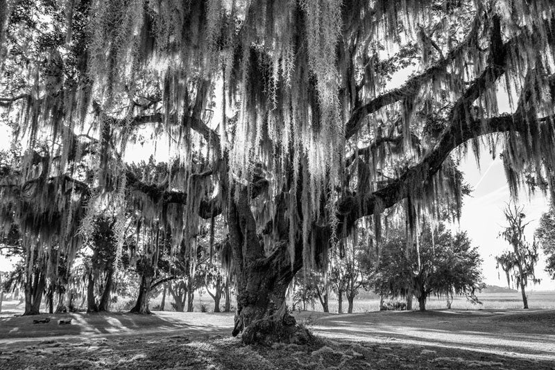 Black and white landscape photograph of sunrise lighting the Spanish moss on a big, sturdy oak tree near the Atlantic coast of Georgia, not far from Savannah.
