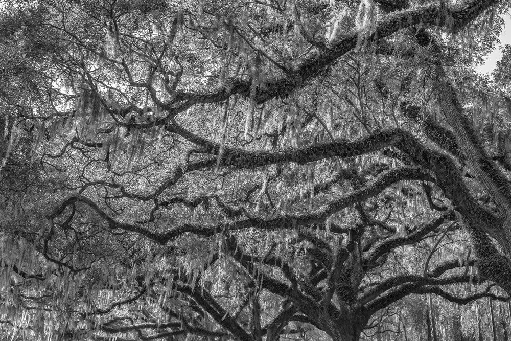 Black and white photograph of ancient southern oak trees draped with Spanish Moss.