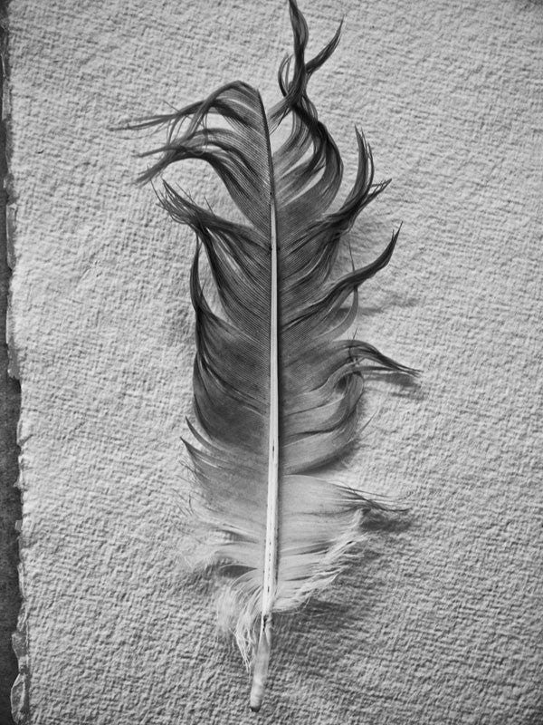 Quiet, peaceful, meditational black and white photograph of a found goose feather photographed on a background of textured watercolor paper.