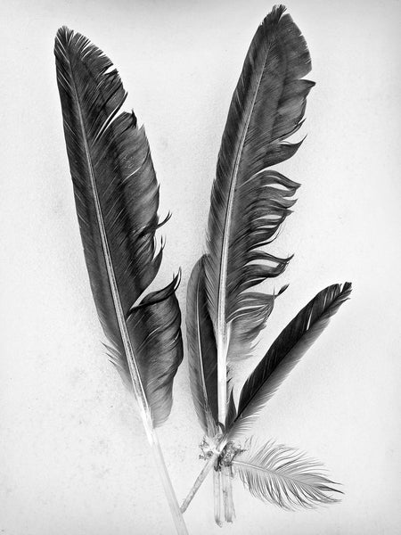 Black and white photograph of a grouping of fallen feathers photographed exactly how they were found on a layer of fresh snow.