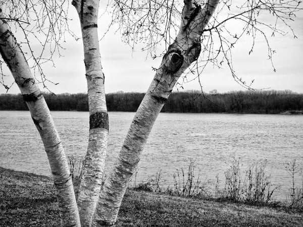 Black and white photograph of a birch tree along the Mississippi River in Minnesota, with Wisconsin on the other bank.