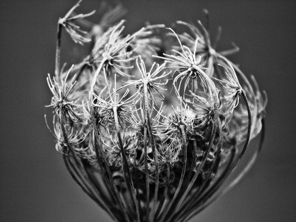 Black and white macro photograph of a seed head on the barren winter prairie in the American midwest.