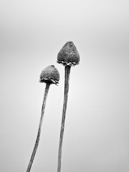 Black and white minimalist landscape photograph of two plant stems against a gray winter sky.