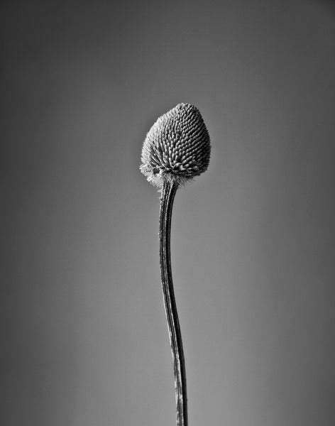 Black and white close-up photograph of a dried flower with missing petals and a curved stem.