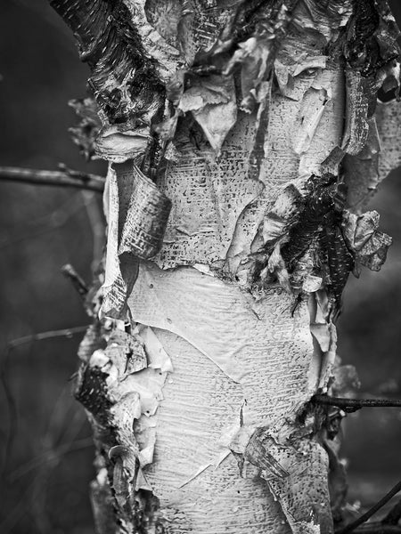 Black and white detail photograph of a beautifully textured and layered paper birch tree.