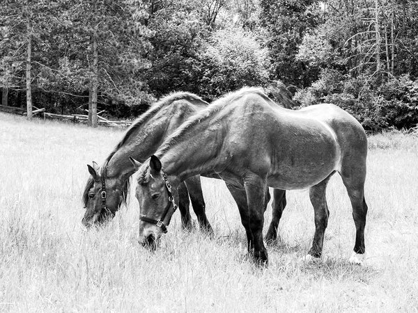 black and white photograph of grazing horses in a lush pasture