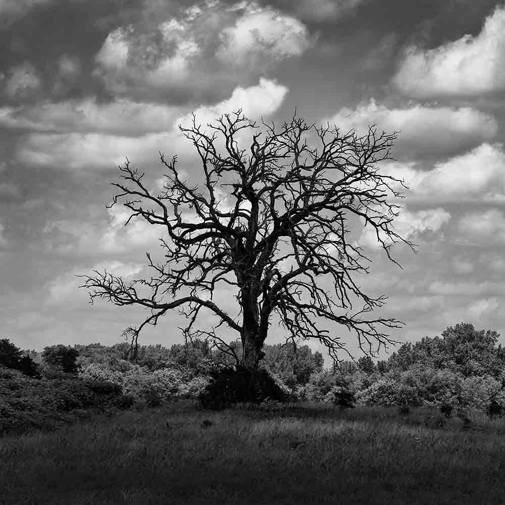 Black and white landscape photograph of big, dead cottonwood tree on a hilltop, darkened by the shadow of a passing cloud. (Square format)