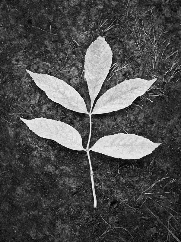 Black and white photograph of a branch with an arrangement of five leaves, lying against the dark ground where it has fallen.