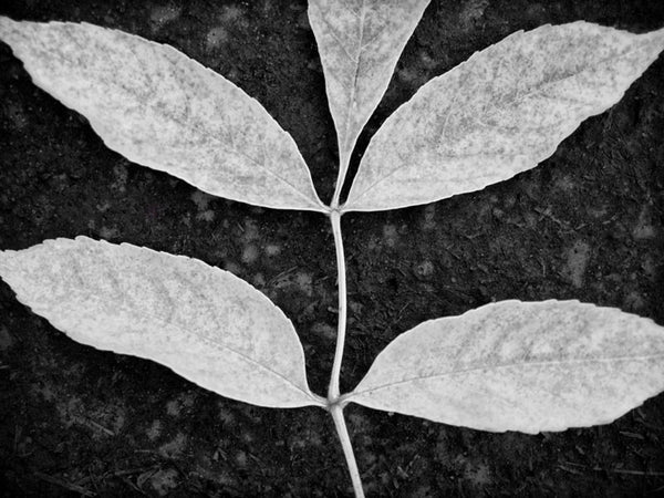 Black and white photograph of a branch with five leaves, tightly cropped to create an interplay with the negative shapes of the dark background.