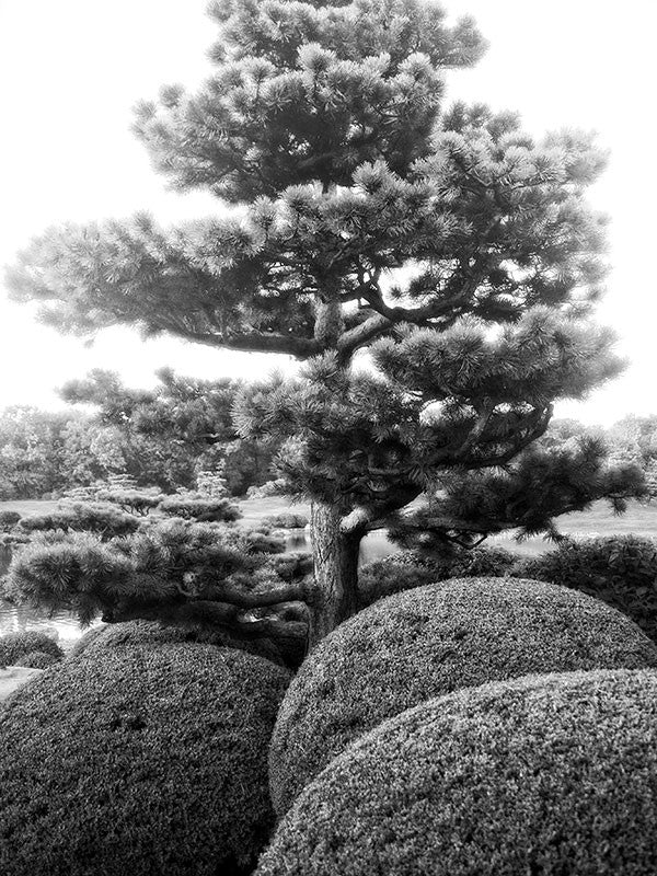 Black and white photograph of a pine tree and sculpted round shrubs in the Japanese Garden at Chicago Botanical Garden, dreamlike in this light.