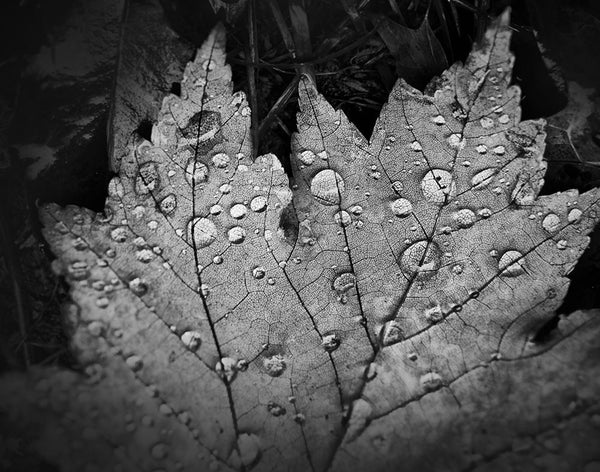 Black and white close-up photograph of sparkling rain drops magnifying the veins on a fallen autumn leaf.