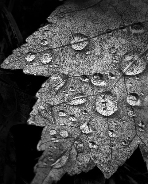 Black and white photograph of rain drops magnifying the veins on a fallen autumn leaf.
