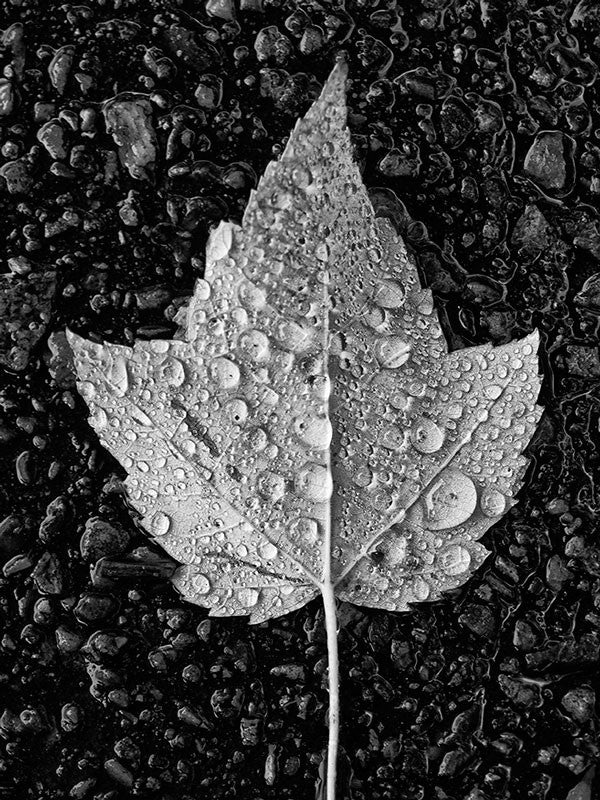 Black and white photograph of a fallen yellow leaf covered in fresh sparkling rain drops