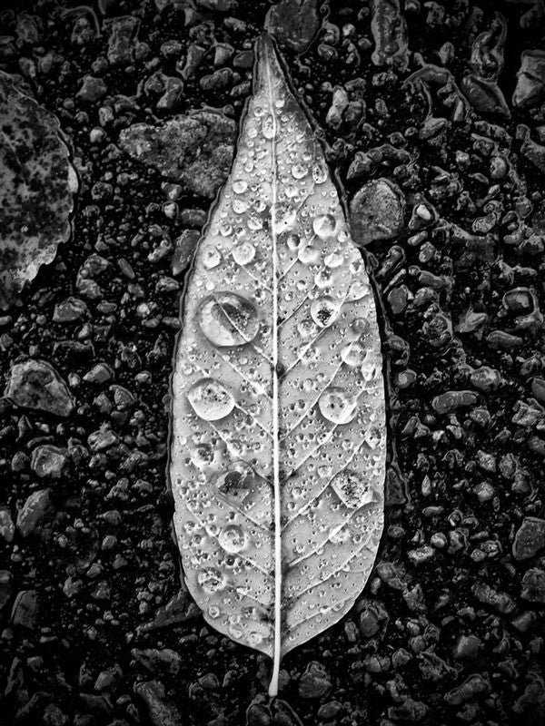 "Black and white photograph of a fallen leaf covered in fresh, sparkling rain drops. This photograph appeared on the big screen in the December 2016 Hollywood movie ""Why Him?"" starring Bryan Cranston, James Franco, Zoey Deutch, and Megan Mullally."