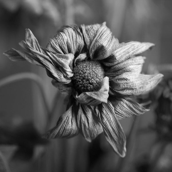 Black and white photograph of the textured and wrinkled petals of a dead flower. Square format - available in two sizes only.