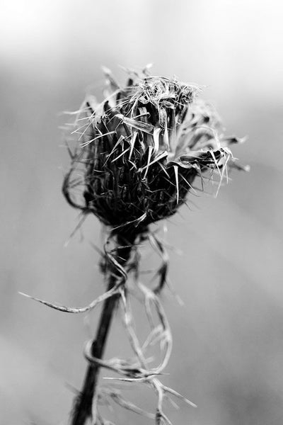 Black and white photograph of a thistle on a dark, gloomy day.