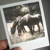Original polaroid photograph of grazing horses by Keith Dotson, shown without the mat