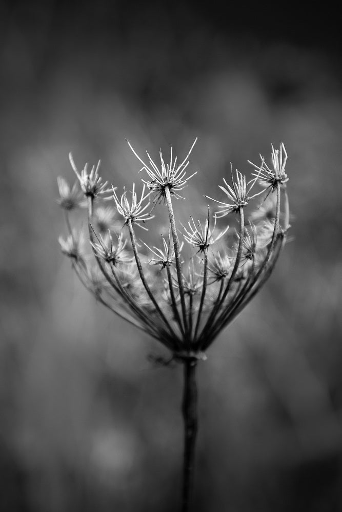 Black and white photograph of a winter seed head on the American prairie.