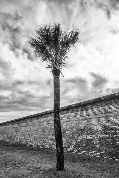 Black and white photograph of a single palm tree on a cloudy day, near the big stone wall at Fort Moultrie in Charleston.