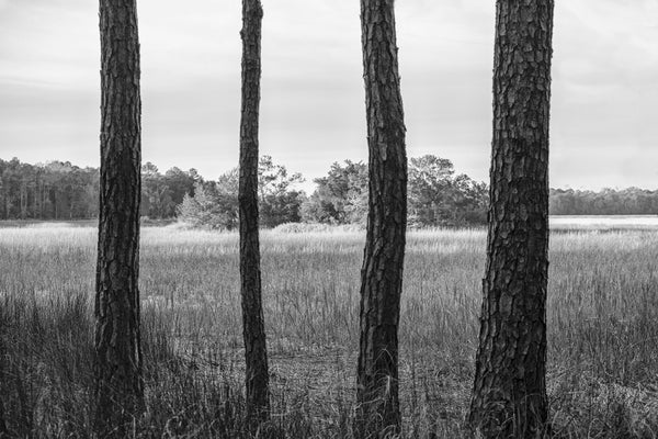 Black and white landscape photograph of four parallel trees dissecting a marsh landscape near Charleston, South Carolina.