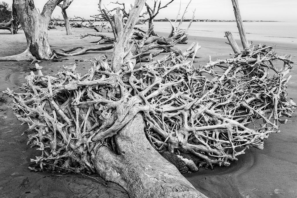 Black and white landscape photograph of the intricate root bed of a fallen tree, and other dead trees scattered along surreal Driftwood Beach on Jekyll Island, Georgia.
