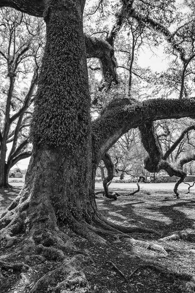 Black and white photograph of a giant southern oak tree whose bark is festooned with resurrection ferns.