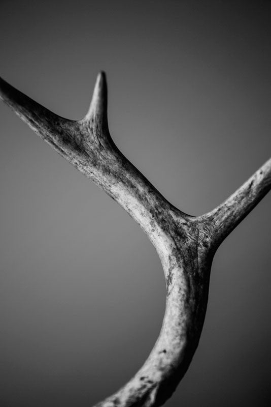 Black and white photograph of a deer antler found in the woods. This photograph explores the beautiful texture, detail and curve of a deer horn within the space.