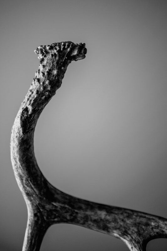 Black and white photograph of a deer antler found in the woods. This photograph explores the texture and detail of a deer horn.   No deer were harmed in the making of this photograph.