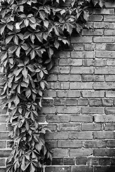 Black and white photograph of a beautiful, old red-brick wall with a curved draping of ivy.