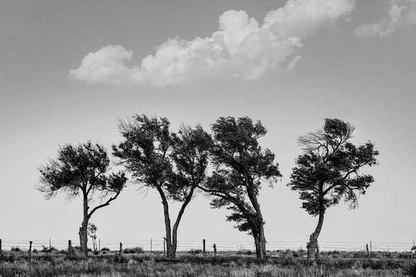 Black and white landscape photograph of four scrubby, windblown trees along a fence line in the Texas Panhandle.