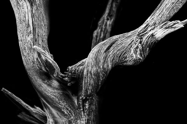 Black and white photograph of a textured desert tree on a dramatic black background, photographed in the desert of Utah.