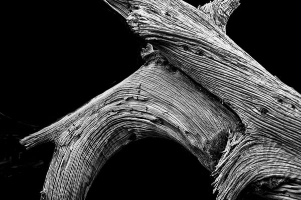 Black and white photograph of a weathered desert tree, somewhat reminiscent of a bowlegged cowboy.