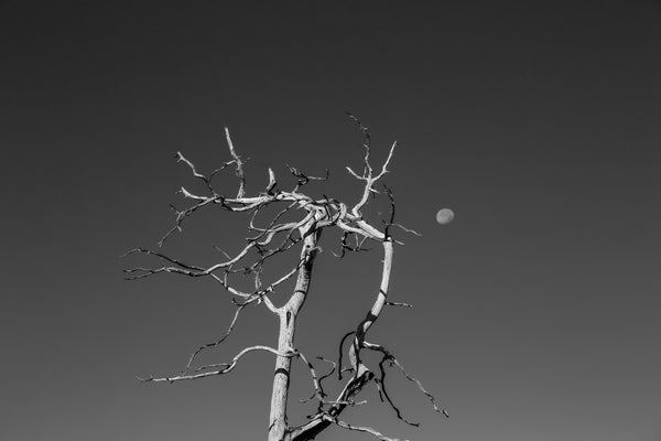 Black and white photograph of an old tree with gnarled branches reaching into a deep blue Colorado sky with the moon overhead