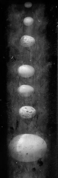 Black and white photograph of a row of bird eggs of various sizes and breeds displayed under a grimy plate of plexiglas.