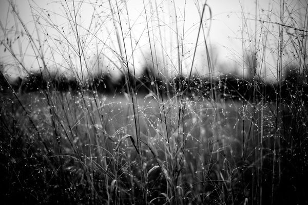 Black and white landscape photograph of tall grass with sparkling raindrops on a dark and gloomy day.