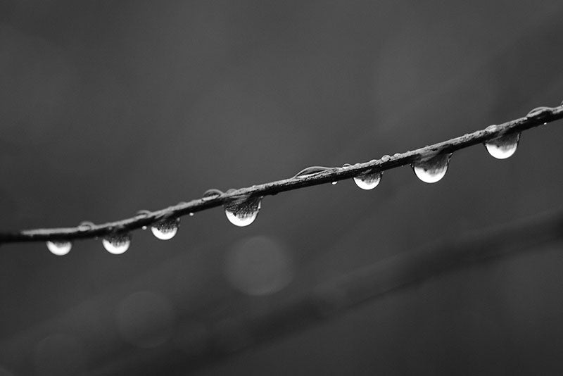 Black and white macro photograph of seven raindrops dangling from a stem on a dark, gloomy autumn day.