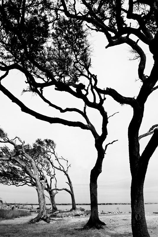 Black and white photograph of dramatic trees standing guard at the entrance to one end of Driftwood Beach on Jekyll Island.