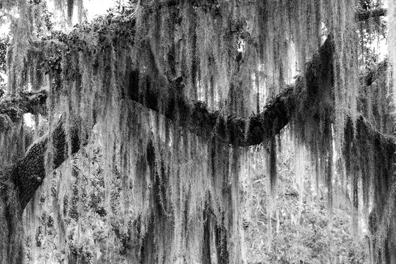 Black and white photograph of a southern oak tree branch shrouded in Spanish moss, giving it a romantic sense of mystery.