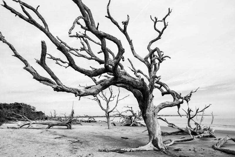 Black and white photograph of Driftwood Beach on Jekyll Island, littered with the bones of dead and fallen trees.