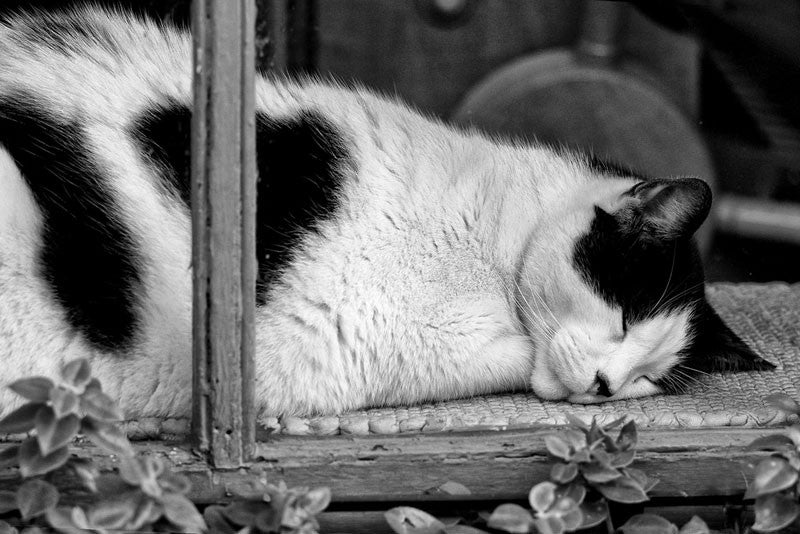 Black and white fine art photograph of a spotted cat sleeping in a shop window in New Orleans' French Quarter.