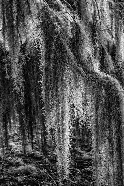 Black and white detail photograph of Spanish moss hanging from the branches of a southern oak tree.