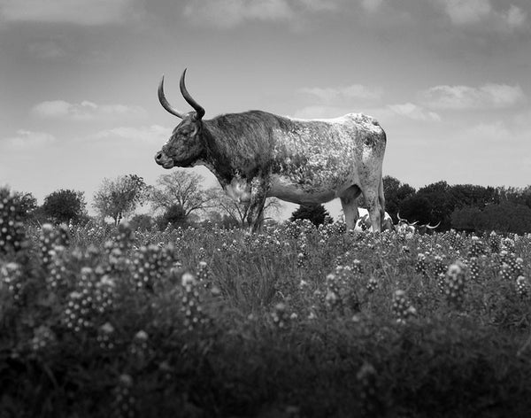 Black and white photograph of a Texas Longhorn standing in a field of iconic Texas bluebonnet wildflowers.